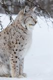 Lynx sits under a tree. A european lynx sittings in the snow. Cold winter, February, Norway Stock Photo
