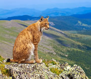 Lynx sits in wild area. Lynx sits on the background of wild nature Stock Photo