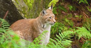 Lynx sitting amidst plants in forest