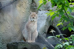Lynx sitting. In an enclosure at the Moscow Zoo Stock Photography