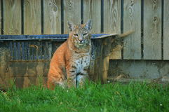 Lynx sitting. In an enclosure at the Vigo Zoo Royalty Free Stock Images