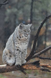 Lynx Sitting on a Fallen Tree Branch Stock Images