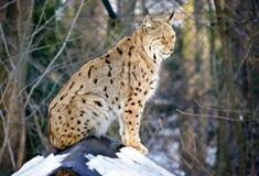Lynx sitting Stock Image