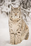 Lynx sitting Royalty Free Stock Image
