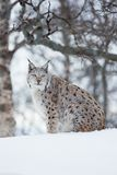 Lynx sitting in the snow a cold winter Royalty Free Stock Photography