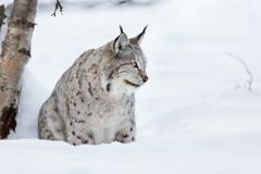 Lynx sitting in the snow. European lynx in the snow a cold winter, february, Norway Royalty Free Stock Image