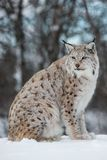 Lynx sitting in the snow. A european lynx sits in the snow. Cold winter, February, Norway Royalty Free Stock Photos