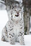 Lynx sitting in the snow and licking lips Stock Photography