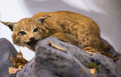Lynx sitting on stone Stock Photography
