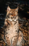 Lynx sitting in the sun Stock Image