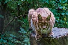 Lynx sitting on tree stump. A lynx with big paws sitting on a tree stump Royalty Free Stock Photo