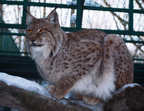 Lynx sitting at the wood Royalty Free Stock Photos