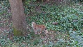Lynx. A lynx at skansen stockholm animal cat Royalty Free Stock Photography
