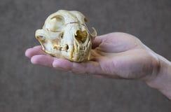Lynx Skull Stock Photo