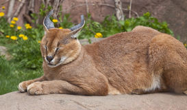 Lynx sleeping Royalty Free Stock Photos