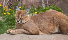 Lynx sleeping. On a beautiful spring day Royalty Free Stock Photos