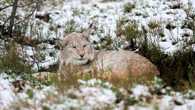 Lynx sleeps in the forest stock footage