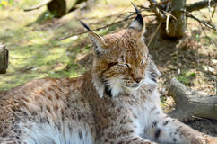 Lynx. A sleepy european lynx Royalty Free Stock Photo
