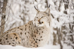 Lynx snarling Stock Photo