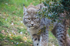 Lynx sneaking. A close up of an Eurasian Lynx sneaking trhough some bushes Royalty Free Stock Photos
