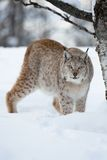 Lynx sneaking in the forest. A european lynx in the forest. Cold winter, February, Norway Stock Photos
