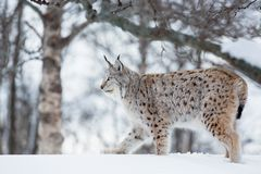 Lynx sneaking in the snow. European lynx in the snow a cold winter, february, Norway Stock Image