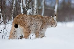 Lynx sneaks in the cold winter forest. A european lynx in the snow. Cold winter, February, Norway Royalty Free Stock Photos