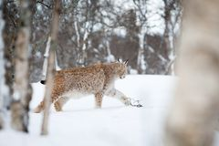 Lynx sneaks in the snow. A european lynx in the forrest. Cold winter, February, Norway Royalty Free Stock Photos