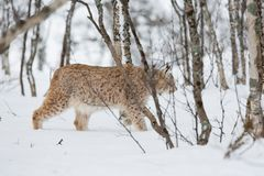 Lynx sneaks in the winter forest. A european lynx in the snow. Cold winter, February, Norway Stock Image