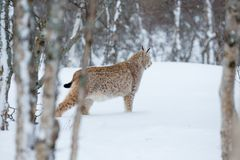 Lynx sneaks in the winter forest. A european lynx in the snow. Cold winter, February, Norway Royalty Free Stock Photo