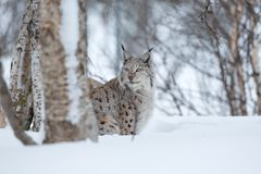 Lynx sneaks in the winter forest. A european lynx in the snow. Cold winter, February, Norway Royalty Free Stock Photography