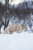 Lynx sneaks in winter landscape. A european lynx in the snow. Cold winter, February, Norway Stock Images