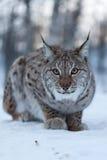 Lynx in sneeuw Royalty-vrije Stock Foto's
