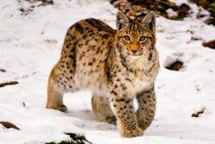 Lynx in sneeuw Stock Foto