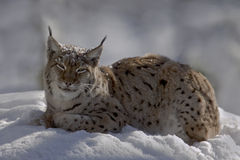 Lynx on the snow Royalty Free Stock Image