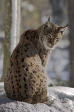 Lynx on the snow Stock Photography