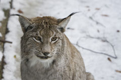 Lynx on the snow Royalty Free Stock Photography