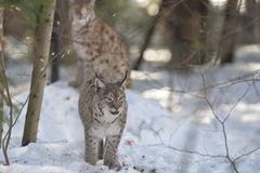 Lynx in the snow Royalty Free Stock Image