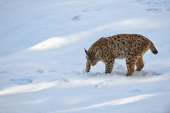 Lynx in the snow Royalty Free Stock Photos