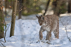 Lynx in the snow Stock Photos