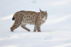 Lynx in the snow. A Lynx in the snow background while looking at you Royalty Free Stock Images