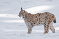 Lynx in the snow. A Lynx in the snow background while looking at you Royalty Free Stock Photos