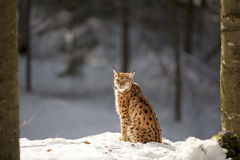 Lynx on the snow background Royalty Free Stock Photos