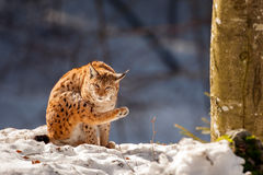 Lynx on the snow background Royalty Free Stock Image