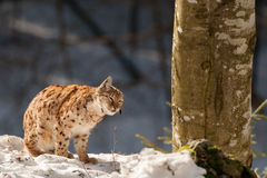 Lynx on the snow background Stock Photography