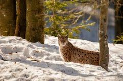Lynx on the snow background Royalty Free Stock Photos