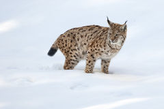Lynx on the snow background while looking at you Royalty Free Stock Image
