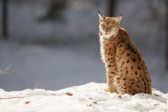 Lynx on the snow background while looking at you Royalty Free Stock Photography