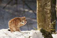 Lynx on the snow background while looking at you Stock Photography