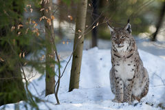 Lynx on the snow background while looking at you Stock Photos